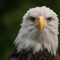bald-eagle-low