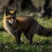 fox-2-low