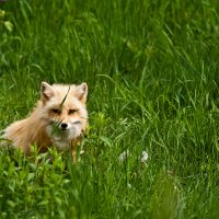 fox-low