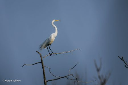 great-egret-low