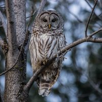 barred-owl-low