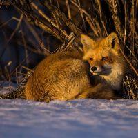 fox-4-low