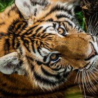 tiger-low